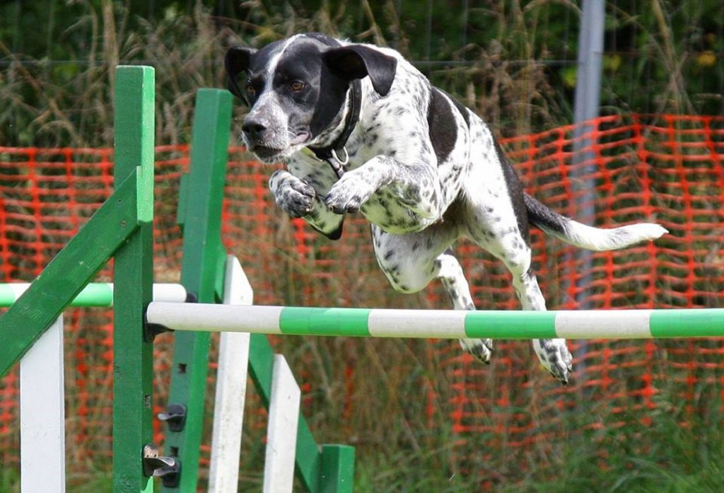 dog_jumping_hurdles